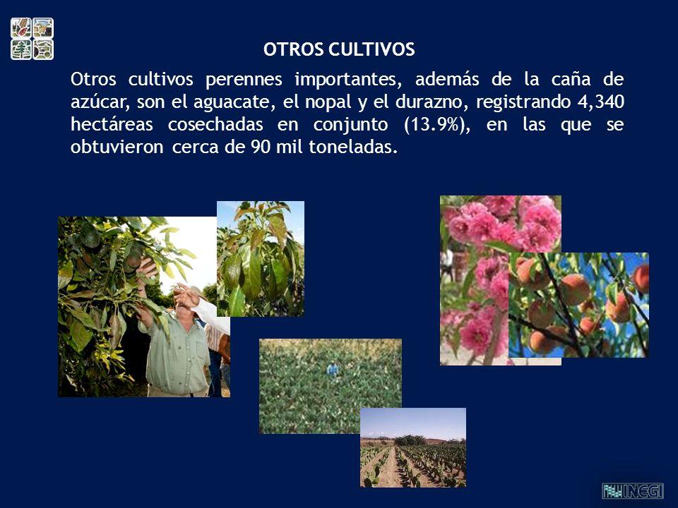 Otros cultivos perennes importantes, además de la caña de azúcar, son el aguacate, el nopal y el durazno, registrando 4,340 hectáreas cosechadas en co