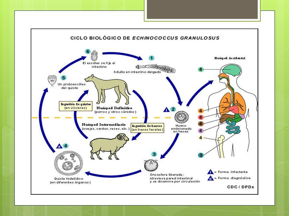 Los huevos eclosionan en el interior del aparato digestivo del hospedador intermediario y liberan las oncoesferas que traspasan la barrera intestinal