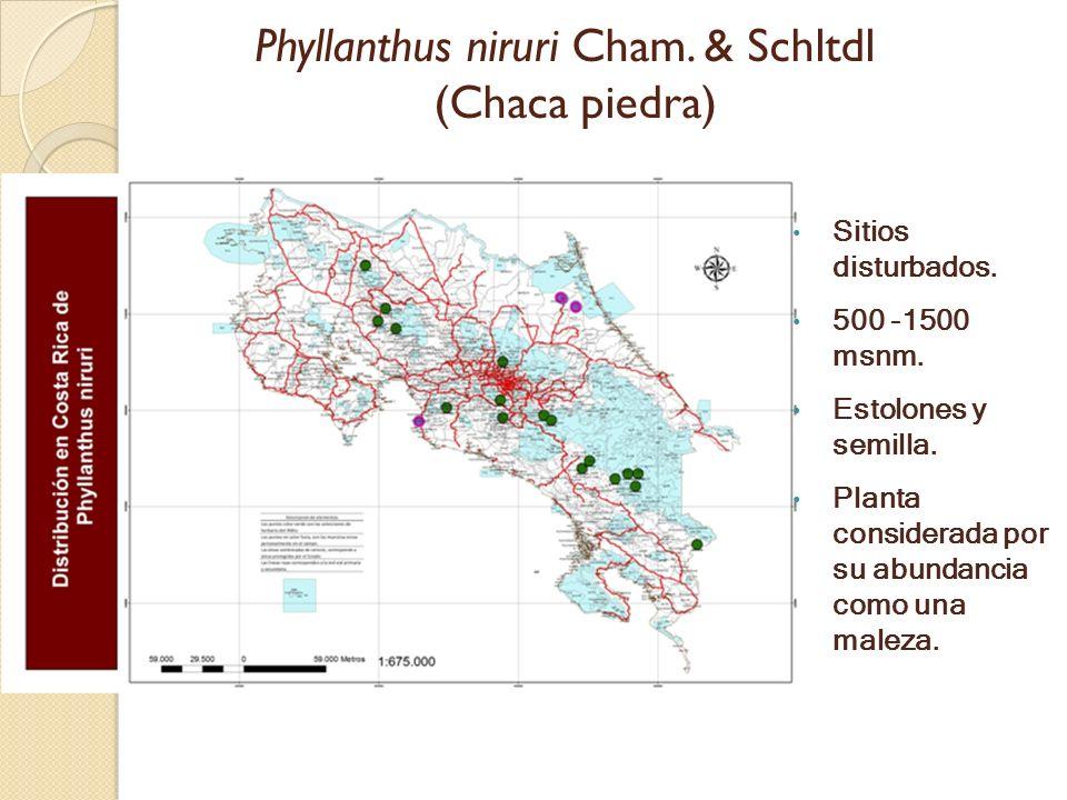 Phyllanthus niruri Cham. & Schltdl (Chaca piedra) Sitios disturbados. 500 -1500 msnm. Estolones y semilla. Planta considerada por su abundancia como u