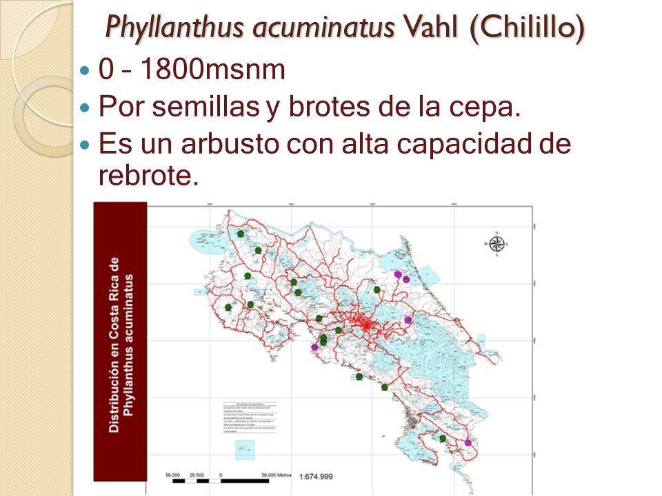 Phyllanthus acuminatus Vahl (Chilillo) 0 – 1800msnm Por semillas y brotes de la cepa. Es un arbusto con alta capacidad de rebrote.