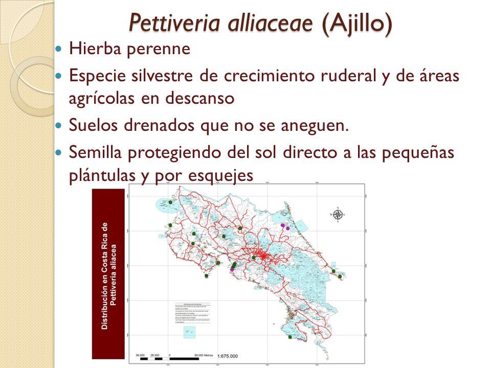 Pettiveria alliaceae (Ajillo) Pettiveria alliaceae (Ajillo) Hierba perenne Especie silvestre de crecimiento ruderal y de áreas agrícolas en descanso S