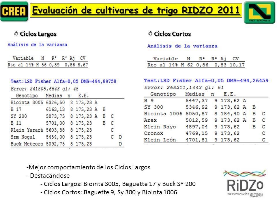 Evaluación de cultivares de trigo RIDZO 2011 Ciclos Largos Ciclos Largos Ciclos Cortos Ciclos Cortos -Mejor comportamiento de los Ciclos Largos - Destacandose - Ciclos Largos: Biointa 3005, Baguette 17 y Buck SY 200 - Ciclos Cortos: Baguette 9, Sy 300 y Biointa 1006