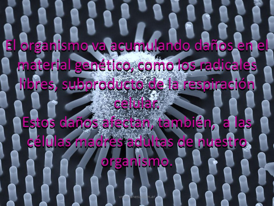 El organismo va acumulando daños en el material genético, como los radicales libres, subproducto de la respiración celular. Estos daños afectan, tambi