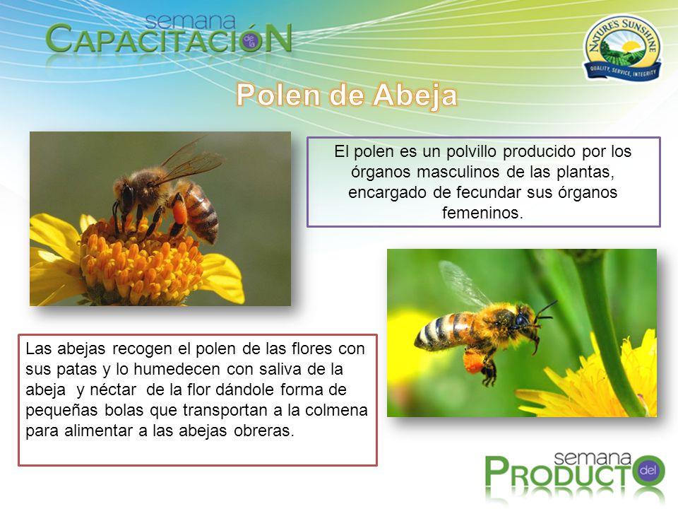 El polen es un polvillo producido por los órganos masculinos de las plantas, encargado de fecundar sus órganos femeninos.