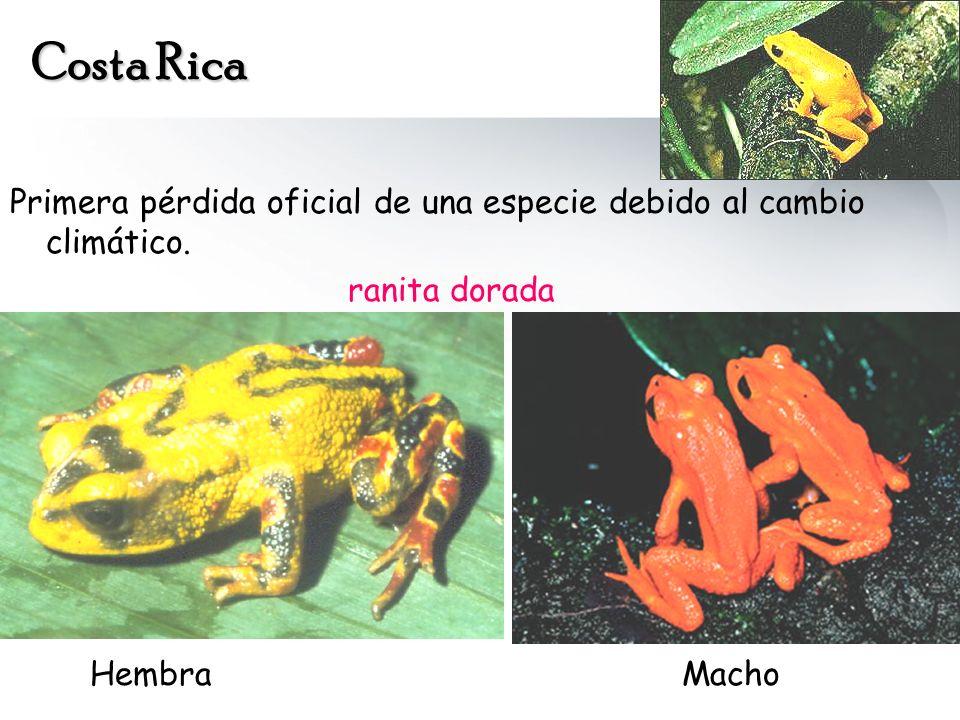 Costa Rica Primera pérdida oficial de una especie debido al cambio climático. ranita dorada HembraMacho
