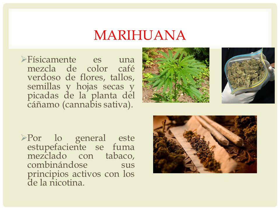 MARIHUANA Físicamente es una mezcla de color café verdoso de flores, tallos, semillas y hojas secas y picadas de la planta del cáñamo (cannabis sativa