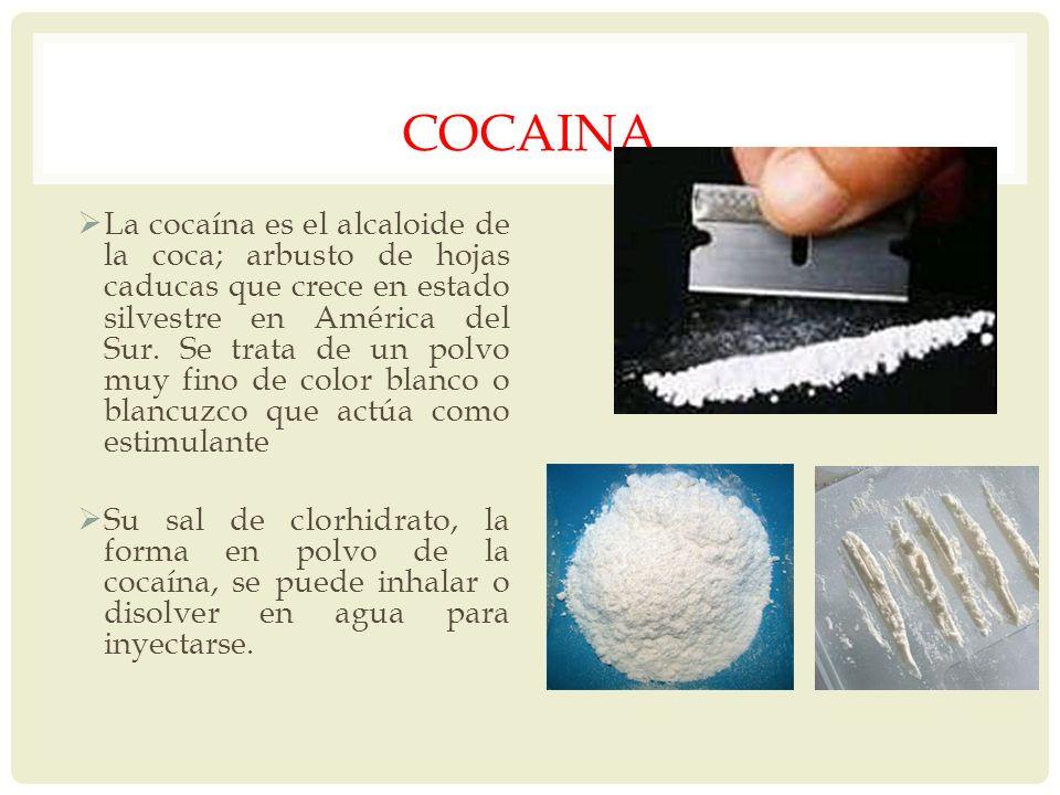 COCAINA La cocaína es el alcaloide de la coca; arbusto de hojas caducas que crece en estado silvestre en América del Sur. Se trata de un polvo muy fin