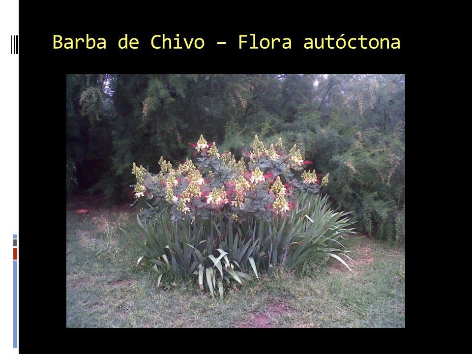 Barba de Chivo – Flora autóctona