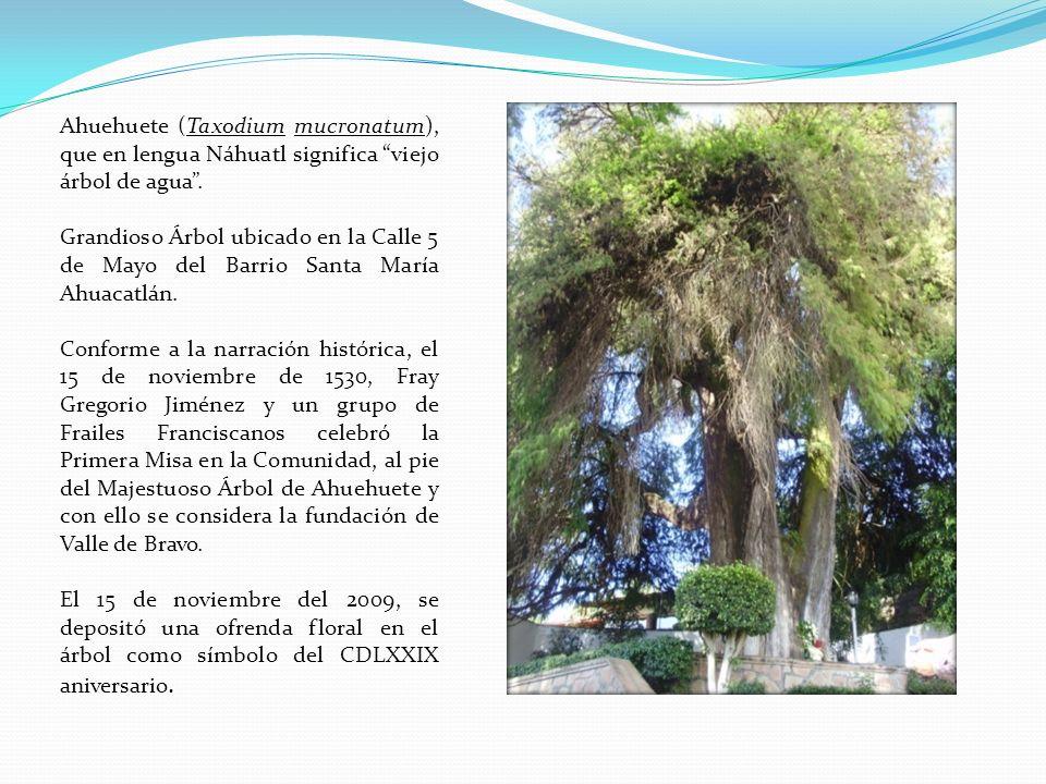 Ahuehuete (Taxodium mucronatum), que en lengua Náhuatl significa viejo árbol de agua.