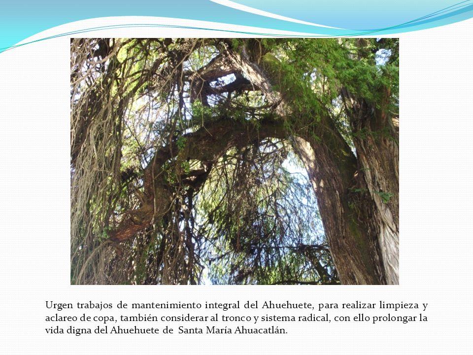 Urgen trabajos de mantenimiento integral del Ahuehuete, para realizar limpieza y aclareo de copa, también considerar al tronco y sistema radical, con ello prolongar la vida digna del Ahuehuete de Santa María Ahuacatlán.