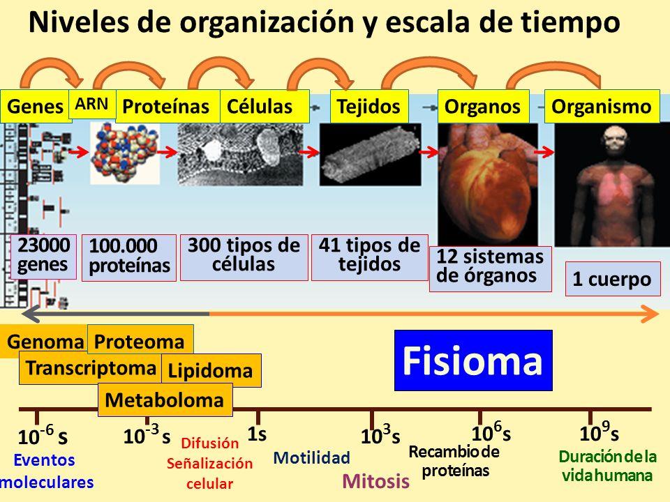 GenesProteínasCélulasTejidosOrganosOrganismo ARN Genoma Transcriptoma Proteoma Fisioma 23000 genes 100.000 proteínas 300 tipos de células 41 tipos de
