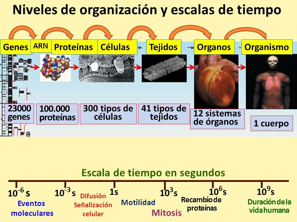 GenesProteínasCélulasTejidosOrganosOrganismo ARN 23000 genes 100.000 proteínas 300 tipos de células 41 tipos de tejidos 12 sistemas de órganos 1 cuerpo 10 -6 s 10 -3 s 1s 10 3 s 10 6 s10 9 s Eventos moleculares Difusión Señalización celular Motilidad Mitosis Recambio de proteínas Duración de la vida humana Niveles de organización, escalas de espacio y tiempo 10 -9 m10 -6 m 10 -3 m10 0 metros
