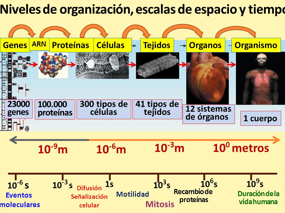 En los mamíferos, las escalas de longitud y tiempo son muy grandes Longitud : desde nanómetros o 10 -9 m (moléculas) hasta metros (organismo).