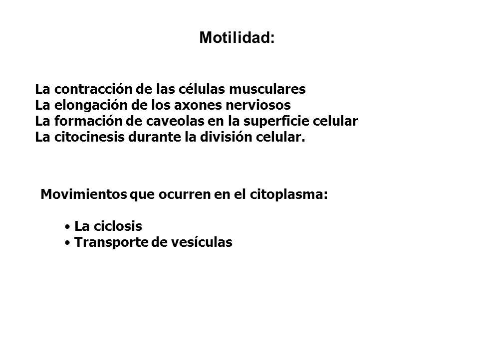 La contracción de las células musculares La elongación de los axones nerviosos La formación de caveolas en la superficie celular La citocinesis durant
