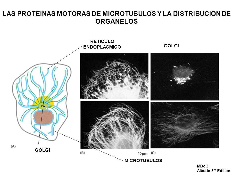 LAS PROTEINAS MOTORAS DE MICROTUBULOS Y LA DISTRIBUCION DE ORGANELOS RETICULO ENDOPLASMICO GOLGI MICROTUBULOS GOLGI MBoC Alberts 3 rd Edition