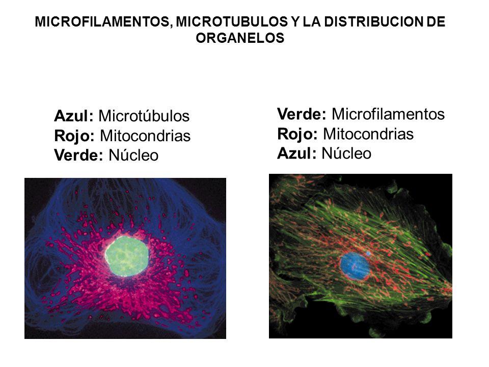 Azul: Microtúbulos Rojo: Mitocondrias Verde: Núcleo Verde: Microfilamentos Rojo: Mitocondrias Azul: Núcleo MICROFILAMENTOS, MICROTUBULOS Y LA DISTRIBU