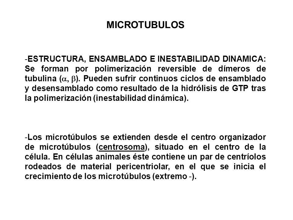 MICROTUBULOS -ESTRUCTURA, ENSAMBLADO E INESTABILIDAD DINAMICA: Se forman por polimerización reversible de dímeros de tubulina ( ). Pueden sufrir conti