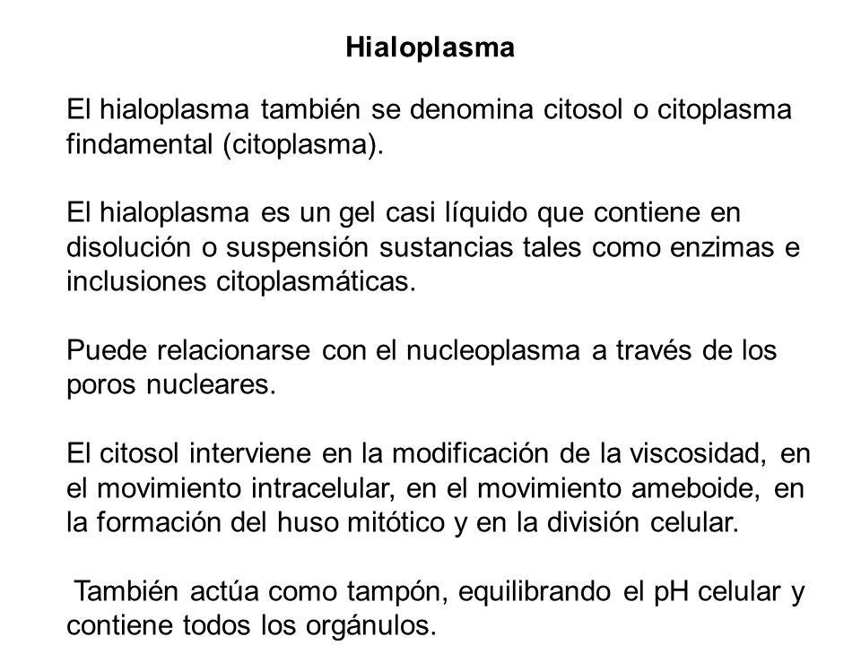 El hialoplasma también se denomina citosol o citoplasma findamental (citoplasma). El hialoplasma es un gel casi líquido que contiene en disolución o s