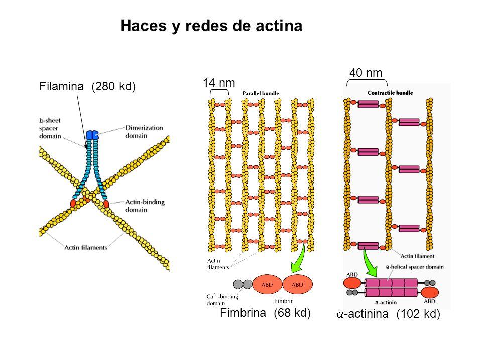 Haces y redes de actina Filamina (280 kd) Fimbrina (68 kd) -actinina (102 kd) 40 nm 14 nm