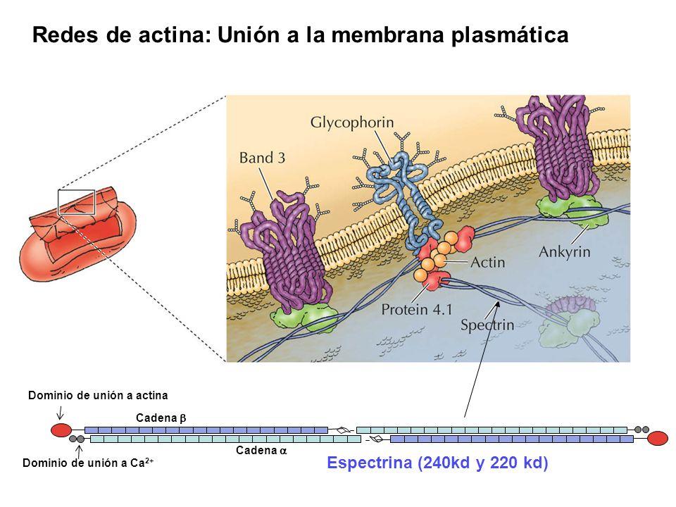 Redes de actina: Unión a la membrana plasmática Dominio de unión a actina Cadena Dominio de unión a Ca 2+ Espectrina (240kd y 220 kd)