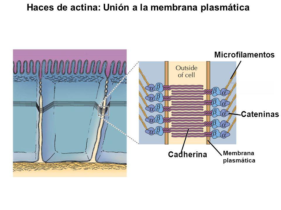 Cateninas Cadherina Microfilamentos Membrana plasmática Haces de actina: Unión a la membrana plasmática