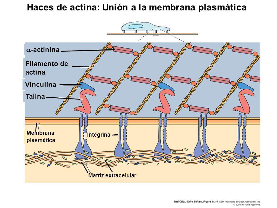 -actinina Filamento de actina Vinculina Talina Matriz extracelular Membrana plasmática Integrina Haces de actina: Unión a la membrana plasmática