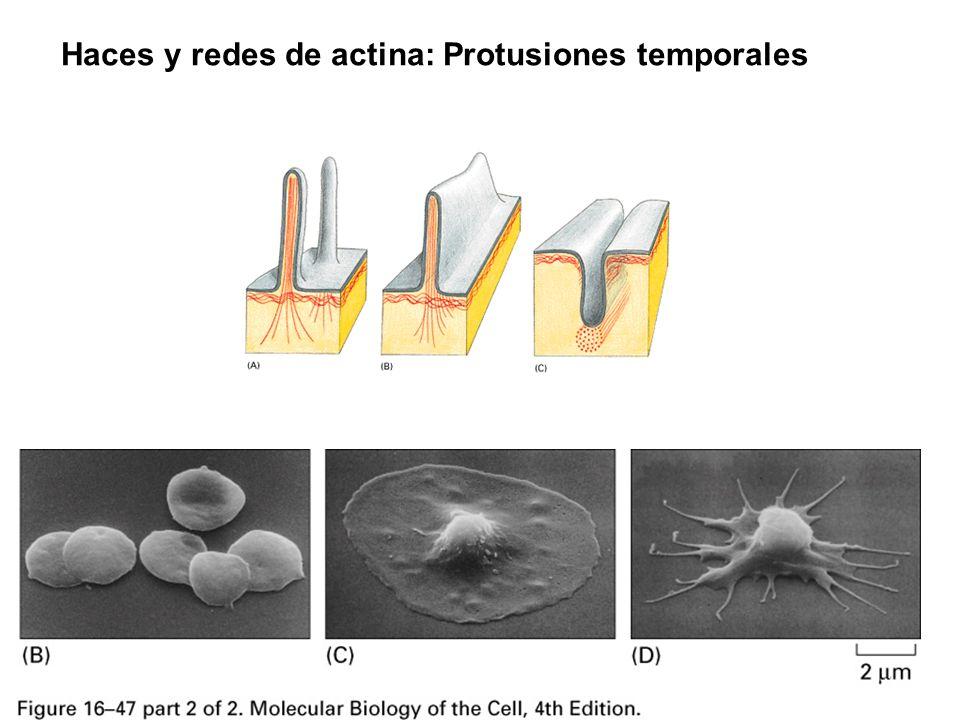 Haces y redes de actina: Protusiones temporales