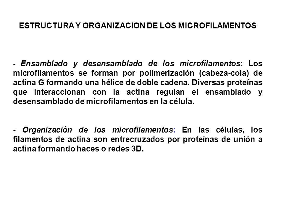 ESTRUCTURA Y ORGANIZACION DE LOS MICROFILAMENTOS - Ensamblado y desensamblado de los microfilamentos: Los microfilamentos se forman por polimerización