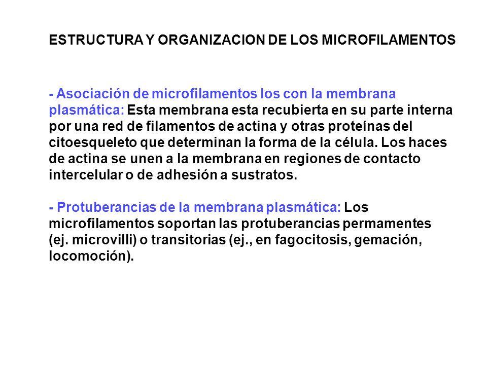 ESTRUCTURA Y ORGANIZACION DE LOS MICROFILAMENTOS - Asociación de microfilamentos los con la membrana plasmática: Esta membrana esta recubierta en su p