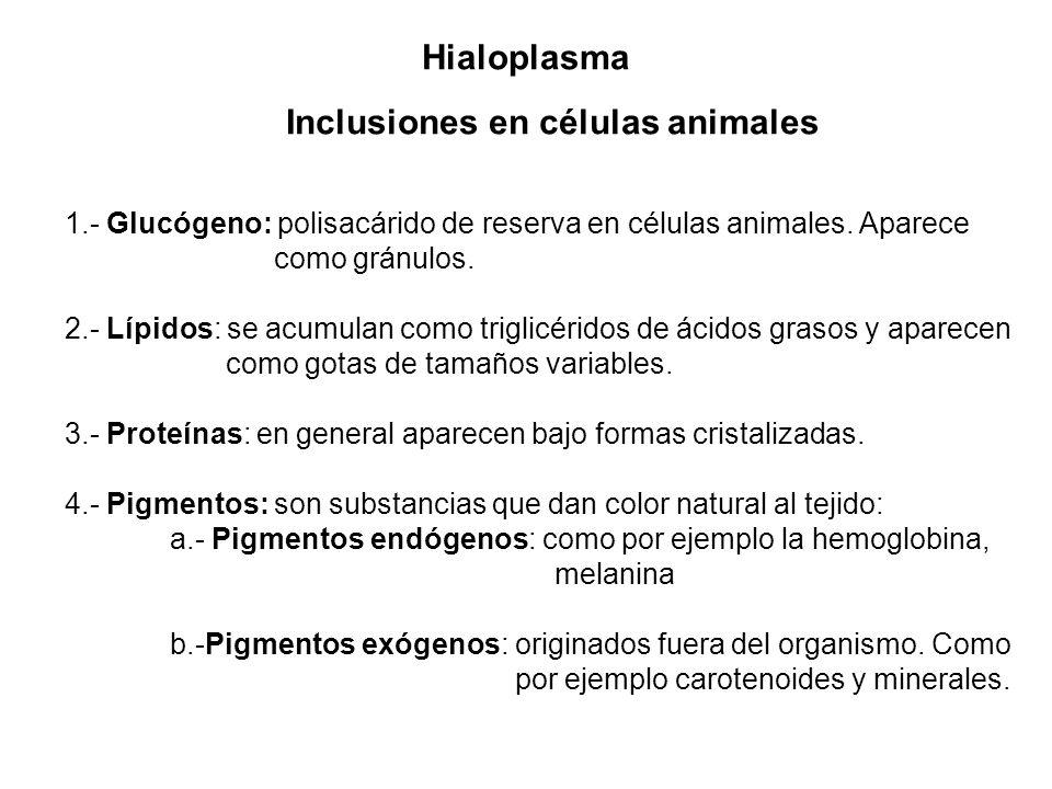 Inclusiones en células animales 1.- Glucógeno: polisacárido de reserva en células animales. Aparece como gránulos. 2.- Lípidos: se acumulan como trigl