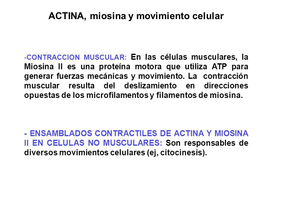 ACTINA, miosina y movimiento celular -CONTRACCION MUSCULAR: En las células musculares, la Miosina II es una proteína motora que utiliza ATP para gener