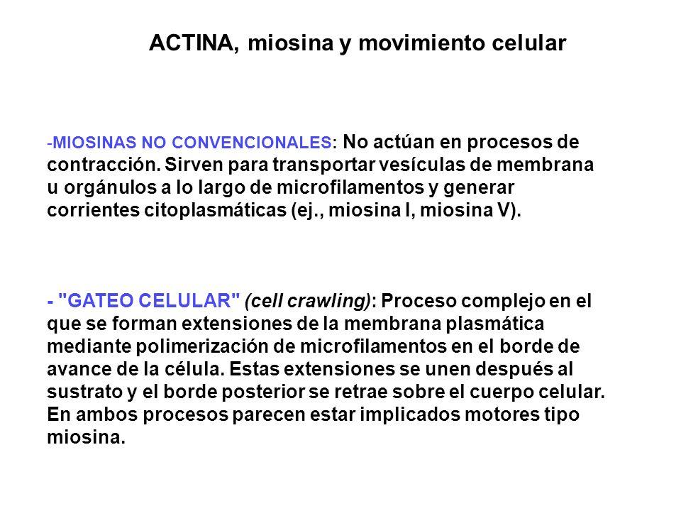 ACTINA, miosina y movimiento celular -MIOSINAS NO CONVENCIONALES: No actúan en procesos de contracción. Sirven para transportar vesículas de membrana