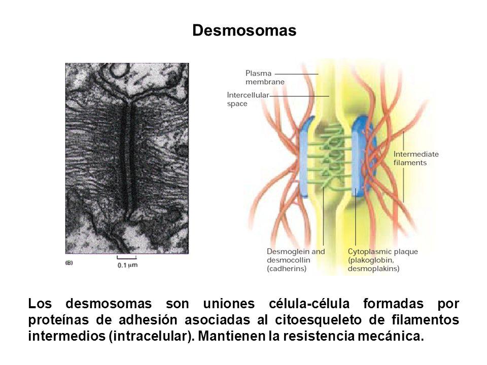 Desmosomas Los desmosomas son uniones célula-célula formadas por proteínas de adhesión asociadas al citoesqueleto de filamentos intermedios (intracelu