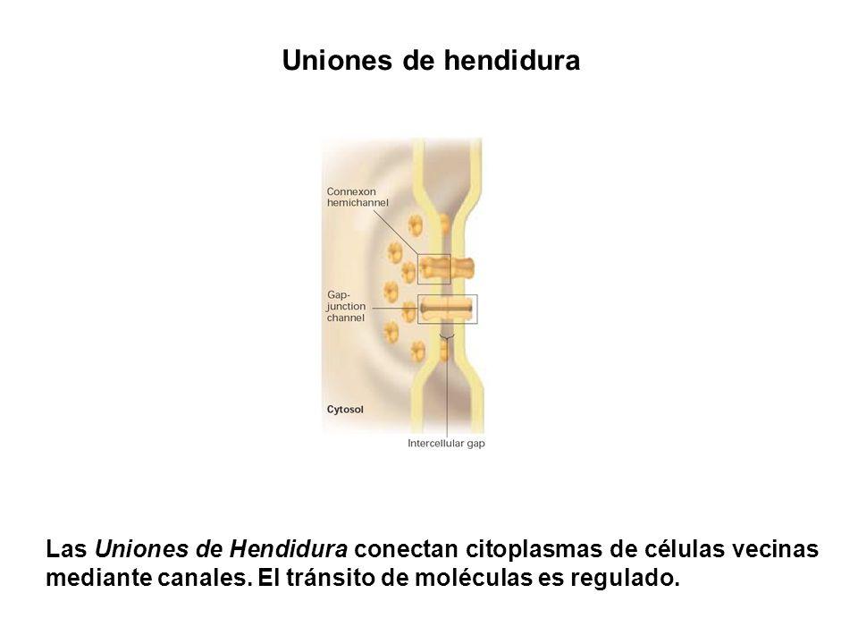 Uniones de hendidura Las Uniones de Hendidura conectan citoplasmas de células vecinas mediante canales. El tránsito de moléculas es regulado.