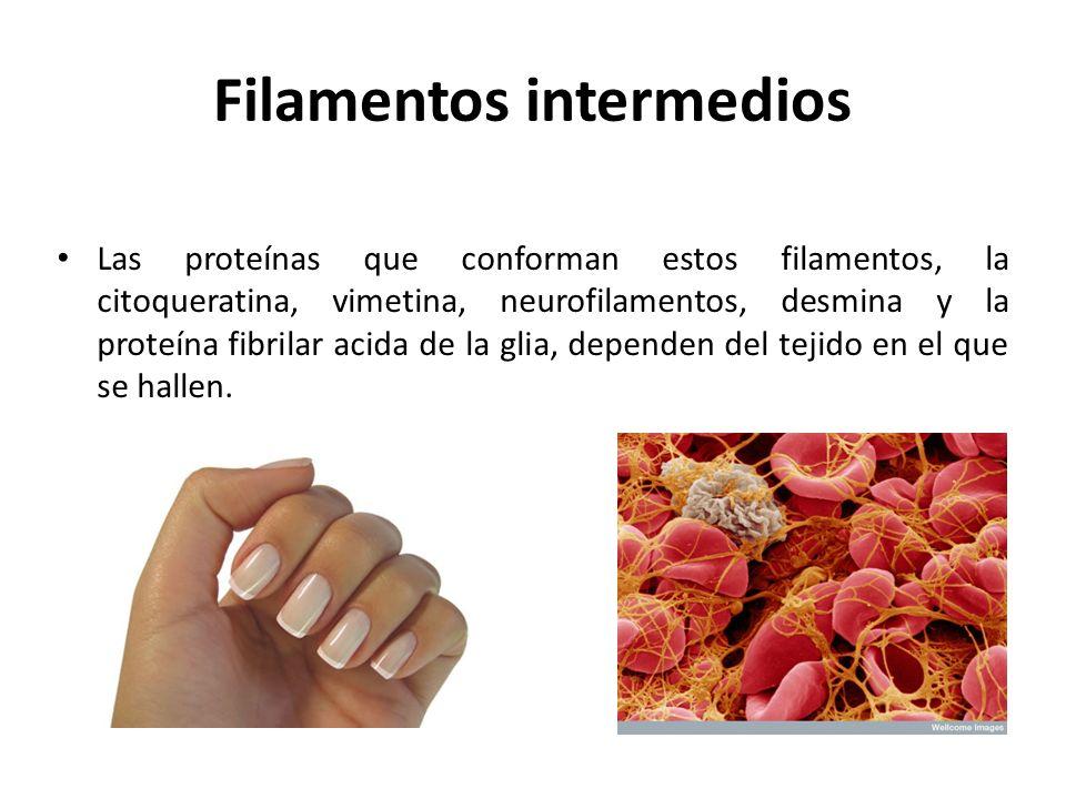 Filamentos intermedios Las proteínas que conforman estos filamentos, la citoqueratina, vimetina, neurofilamentos, desmina y la proteína fibrilar acida