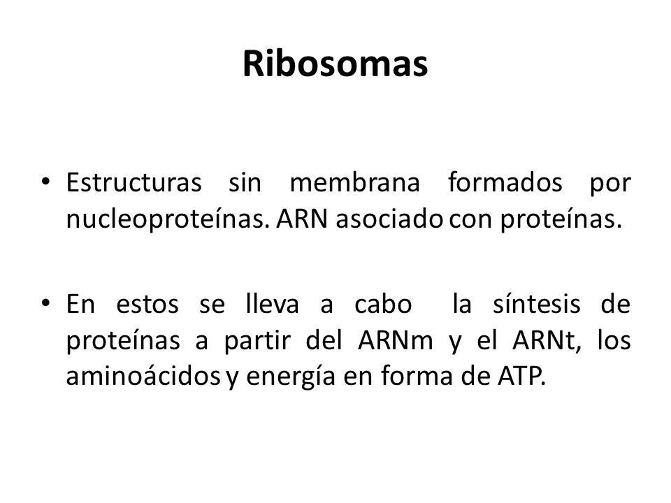 Ribosomas Estructuras sin membrana formados por nucleoproteínas. ARN asociado con proteínas. En estos se lleva a cabo la síntesis de proteínas a parti