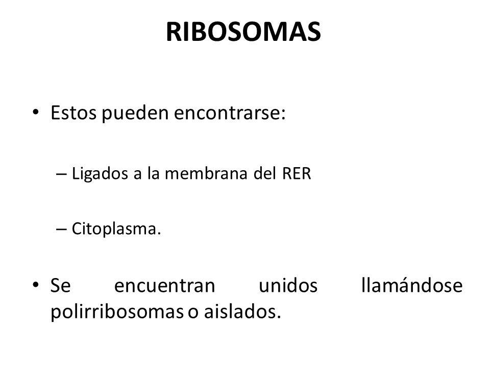 RIBOSOMAS Estos pueden encontrarse: – Ligados a la membrana del RER – Citoplasma. Se encuentran unidos llamándose polirribosomas o aislados.