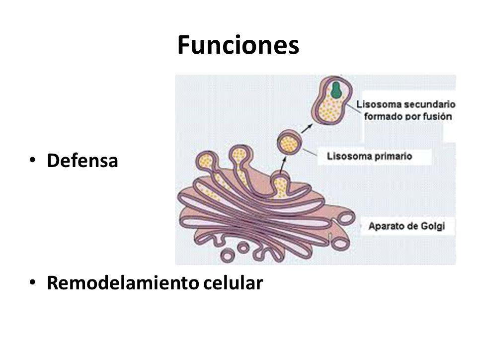 Funciones Defensa Remodelamiento celular