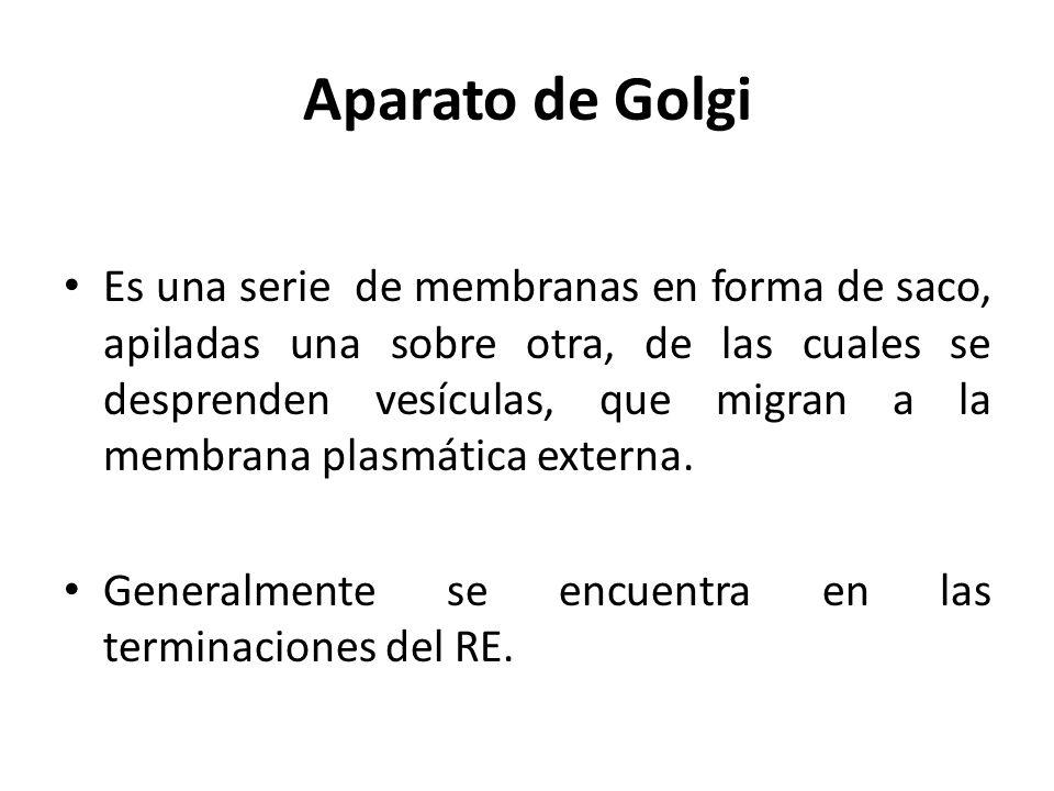 Aparato de Golgi Es una serie de membranas en forma de saco, apiladas una sobre otra, de las cuales se desprenden vesículas, que migran a la membrana