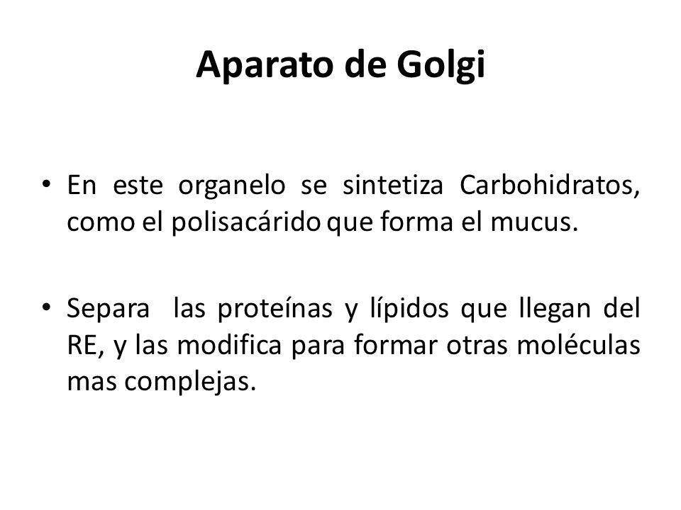 Aparato de Golgi En este organelo se sintetiza Carbohidratos, como el polisacárido que forma el mucus. Separa las proteínas y lípidos que llegan del R