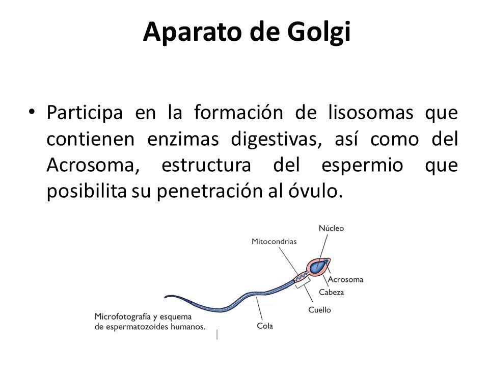 Aparato de Golgi Participa en la formación de lisosomas que contienen enzimas digestivas, así como del Acrosoma, estructura del espermio que posibilit
