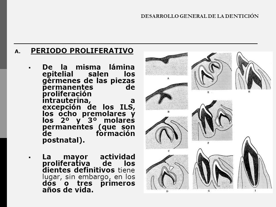 DESARROLLO GENERAL DE LA DENTICIÓN A. PERIODO PROLIFERATIVO De la misma lámina epitelial salen los gérmenes de las piezas permanentes de proliferación