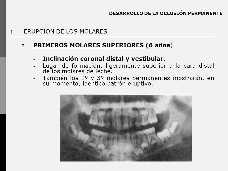 DESARROLLO DE LA OCLUSIÓN PERMANENTE I. ERUPCIÓN DE LOS MOLARES I. PRIMEROS MOLARES SUPERIORES (6 años): Inclinación coronal distal y vestibular. Luga