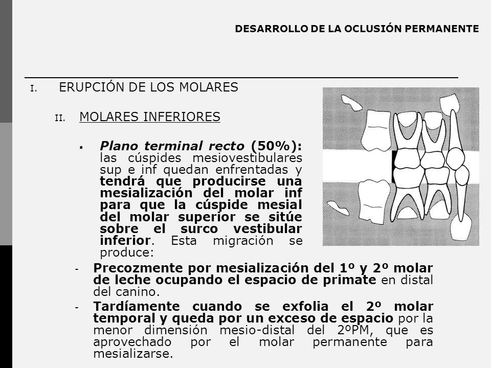 DESARROLLO DE LA OCLUSIÓN PERMANENTE - Precozmente por mesialización del 1º y 2º molar de leche ocupando el espacio de primate en distal del canino.