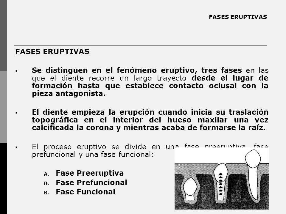 FASES ERUPTIVAS Se distinguen en el fenómeno eruptivo, tres fases en las que el diente recorre un largo trayecto desde el lugar de formación hasta que establece contacto oclusal con la pieza antagonista.