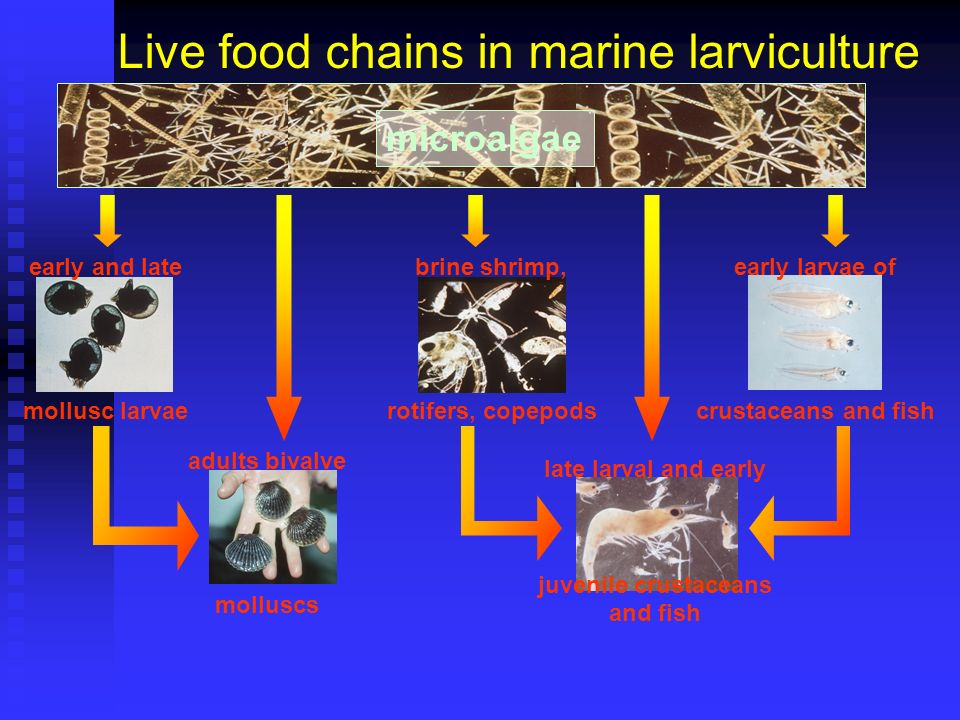 Live food chains in marine larviculture early and late mollusc larvae early larvae of crustaceans and fish adults bivalve molluscs brine shrimp, rotif