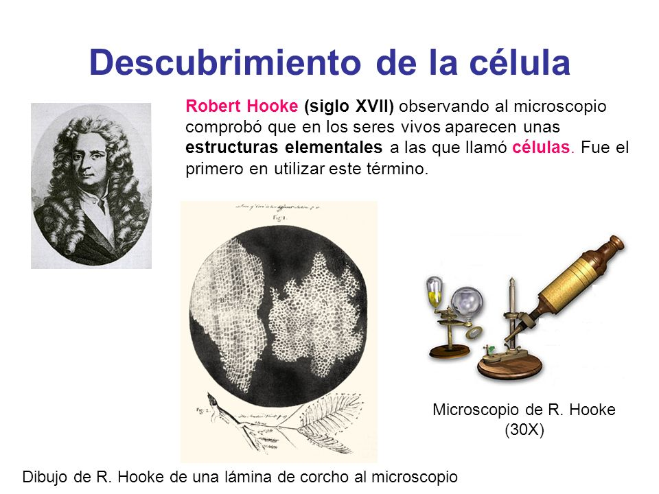 Descubrimiento de la célula Robert Hooke (siglo XVII) observando al microscopio comprobó que en los seres vivos aparecen unas estructuras elementales