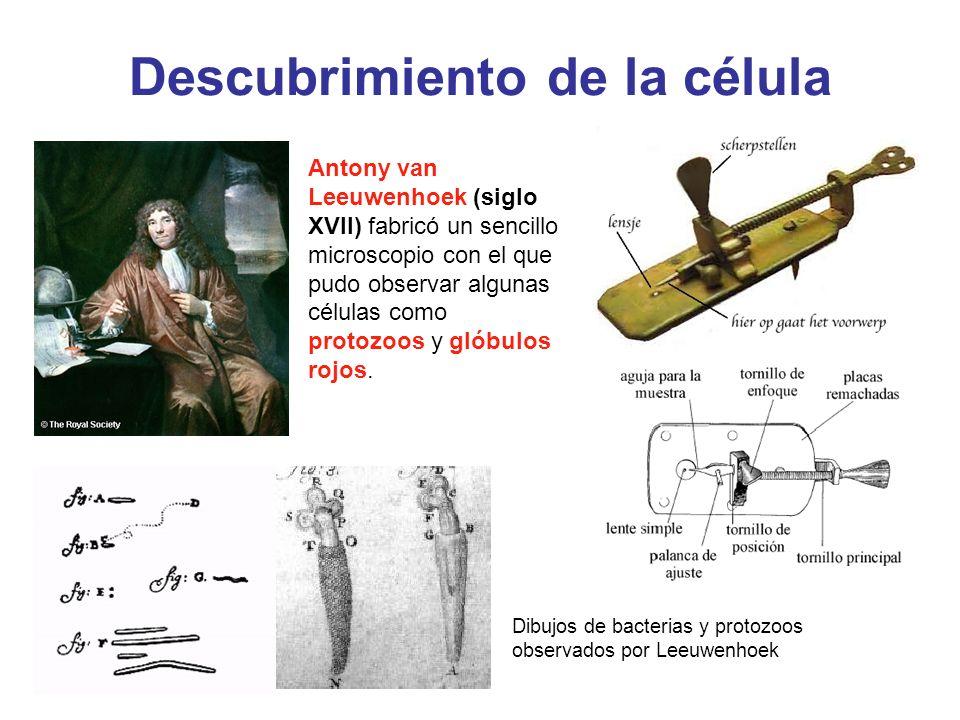 Descubrimiento de la célula Antony van Leeuwenhoek (siglo XVII) fabricó un sencillo microscopio con el que pudo observar algunas células como protozoo