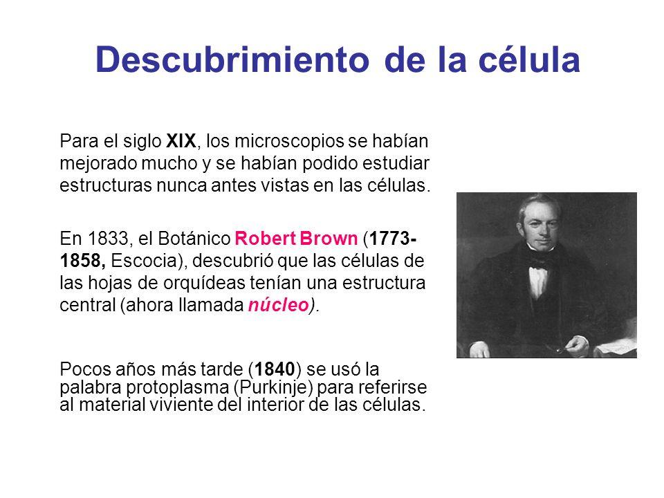 Descubrimiento de la célula Para el siglo XIX, los microscopios se habían mejorado mucho y se habían podido estudiar estructuras nunca antes vistas en