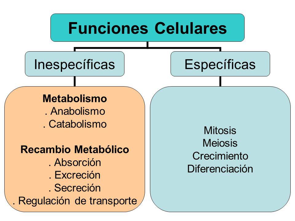 Funciones Celulares Inespecíficas Metabolismo. Anabolismo. Catabolismo Recambio Metabólico. Absorción. Excreción. Secreción. Regulación de transporte